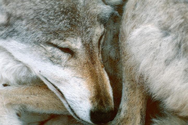 Nukkuva susi