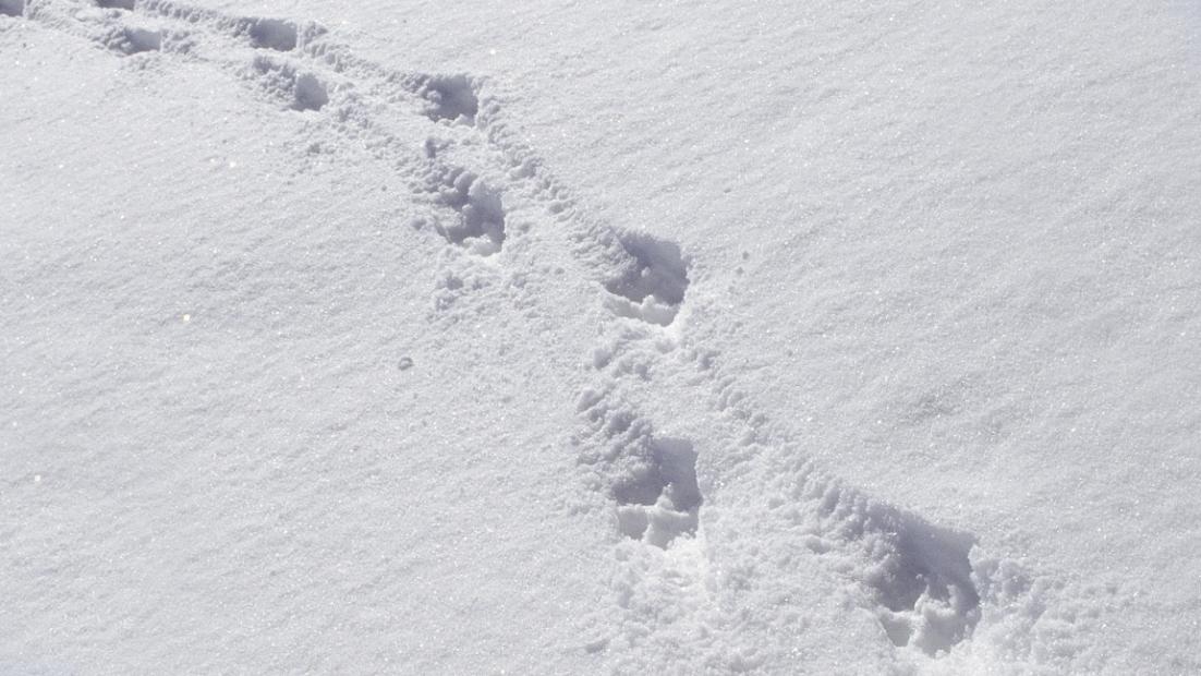 Suden jälkijono lumella.