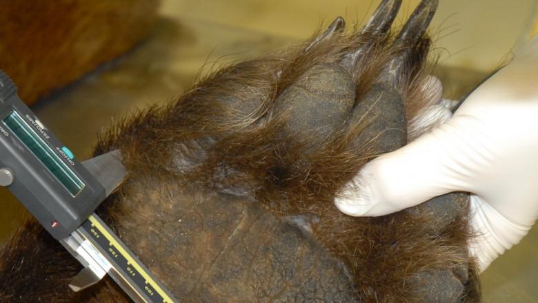En människas hand håller en björntass med fotsulan uppåt i närbild. I andra handen har människan en mätanordning i metall, med vilken hen mäter tassens storlek.