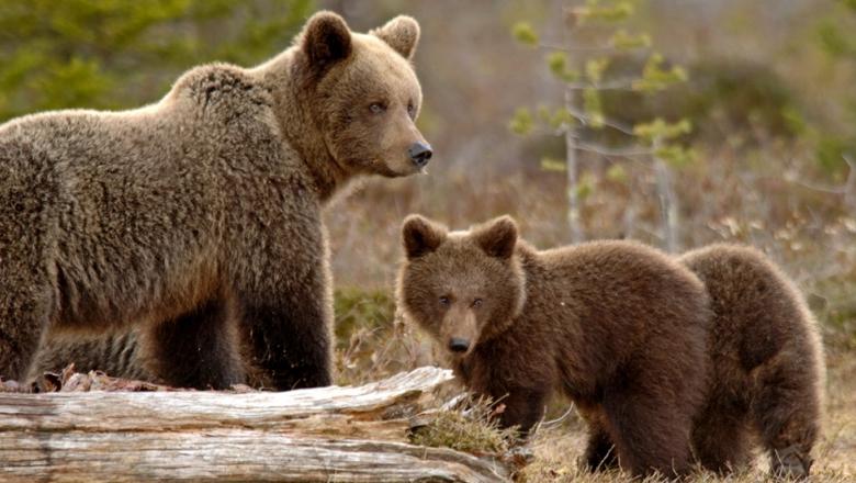 Karhuemo seisoo metsässä. Karhun oikealla puolella on kaksi pentua.