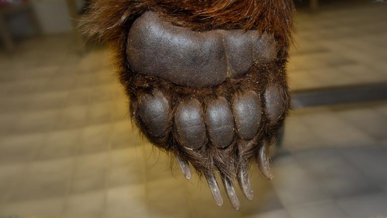 Karhun etutassun pohja, kuvassa näkyy hyvin antura ja varpaat.