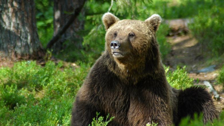 Istuva karhu metsässä mustikkamättään päällä.