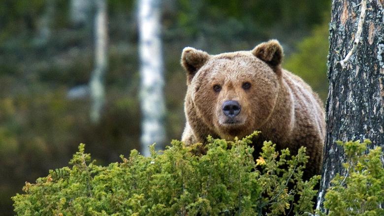 Karhu katsoo katajapuskan takaa.