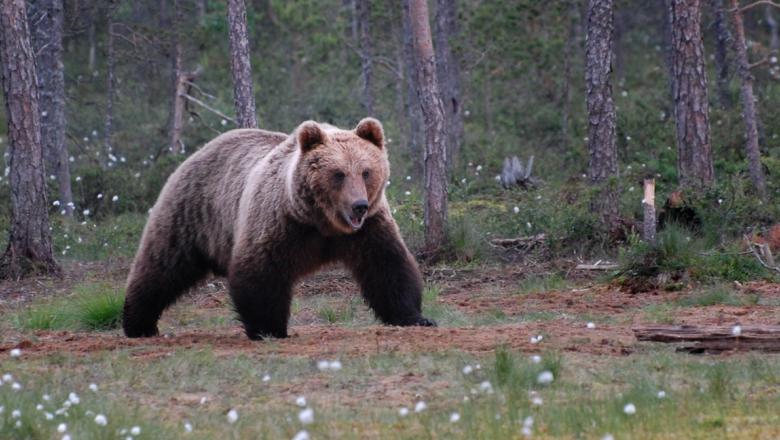 Karhu kävelee suon reunassa. Etualalla tupasvilloja, takana mäntyjä.