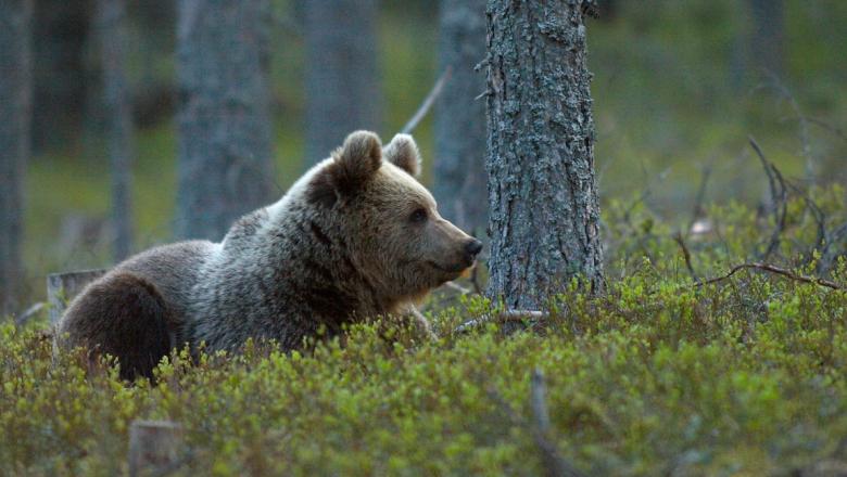 Karhu makaa varvikossa ja katsoo oikealle.