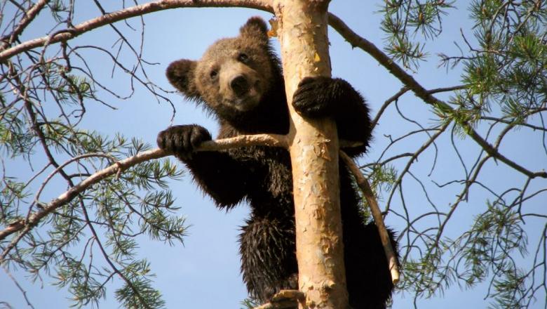 Karhunpoikanen männyssä, pitää toisella etujalalla kiinni rungosta, toinen on oksan päällä.