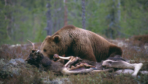 Karhu makaa haaskan päällä  ja syö sitä.
