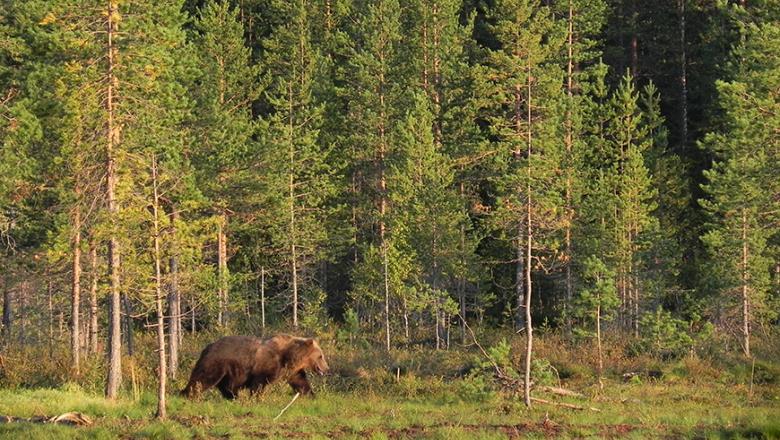 Karhu kävelee ilta-auringossa metsän reunassa.