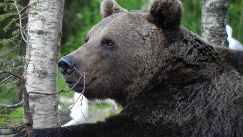 Iso karhu, jonka vasen käpälä lepää koivun oksahaaran päällä. Taustalla toinen koivu.