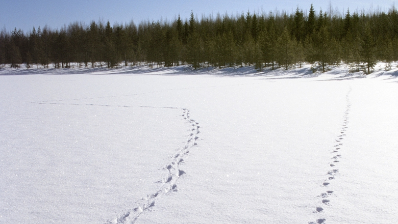Suden jäljet lumessa