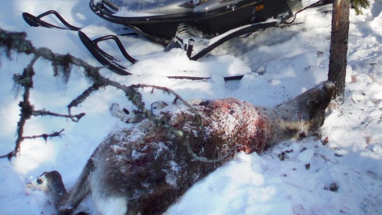Lumessa makaava, kuollut ja verinen poro. Takana moottorikelkka.