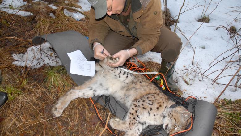 Ett sövt lodjur ligger på marken. En man med keps undersöker dess baktass med ett måttband och en penna i handen.