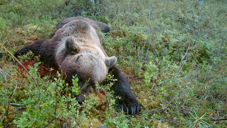 En död, blodig björn ligger på mage på skogens mossa.