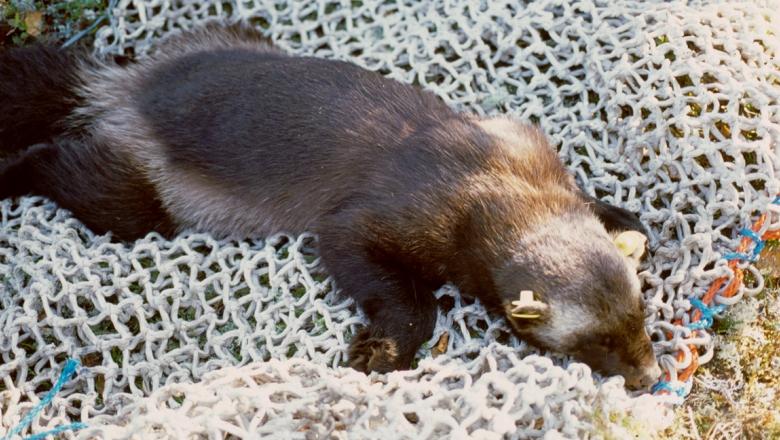 Nukutettu ahma makaa vatsallaan verkon päällä sammalmättäällä.
